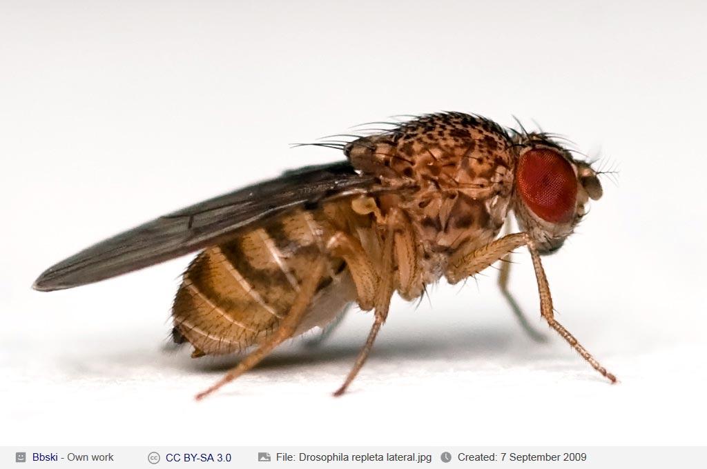 Drosophila_repleta_lateral